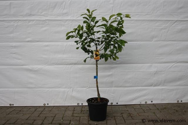 Citroenboom, citrusboom