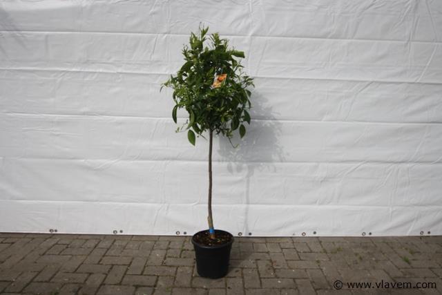 Mandarijnenboom,  citrusboom