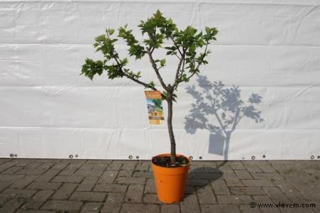 Abrikozenboom
