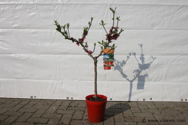 Nectarineboom