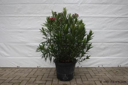 Oleander, kleur wit