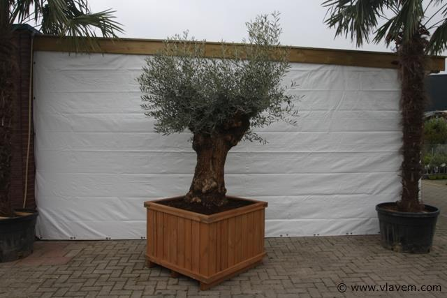 Oude Olijfboom inclusief houten bak