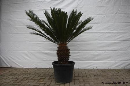 Cycas Revolta, sagopalmboom