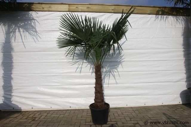 Trachycarpus Fortunei, palmboom