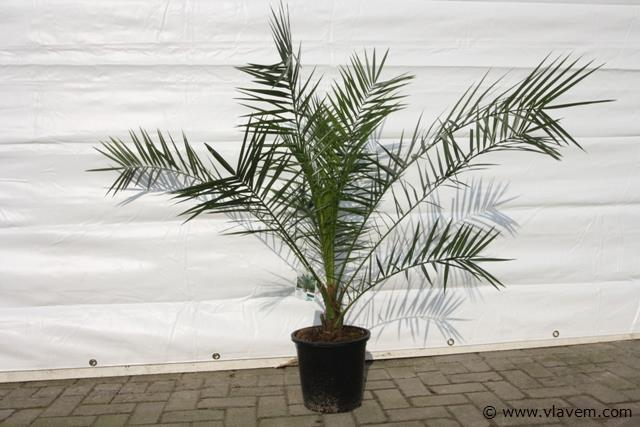 Phoenix Canariensis, palmboom, dadelpalm