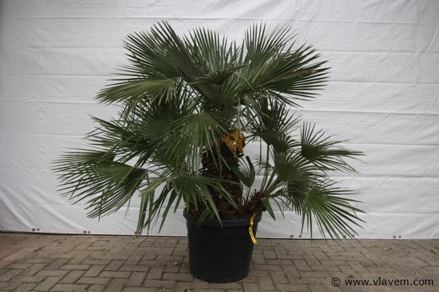 Chamaerops Humilis, palmboom