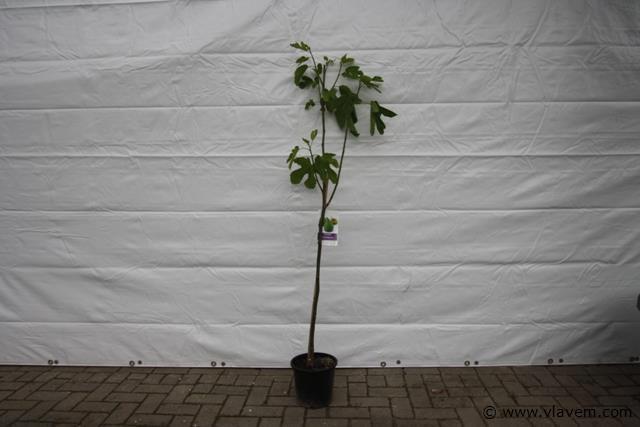 Ficus Carica  vijgenboom Cota de Miel (zoete donkere vijg)